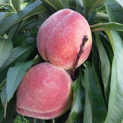 california-tropical-bonanza-miniature-peach-1.jpg