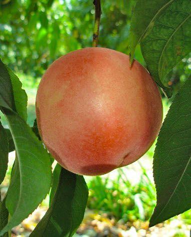 california-tropical-babcock-peach-1.jpg