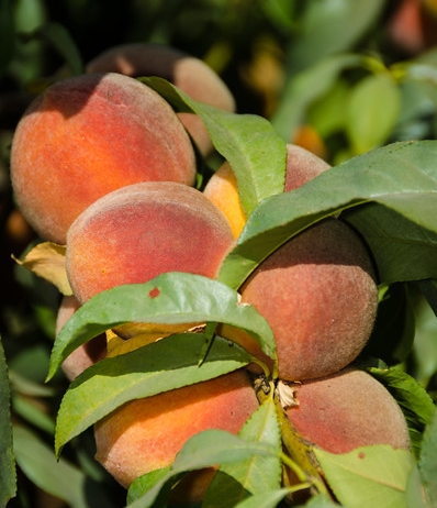 california-tropical-peachy-keen-peach-1.jpg