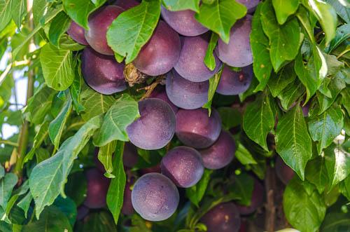 california-tropical-burgundy-plum-1.jpg