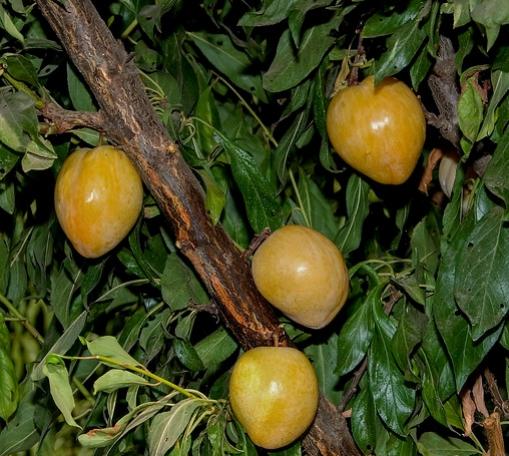 california-tropical-golden-nectar-plum-1.jpg