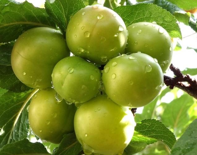 california-tropical-green-gage-plum-1.jpg