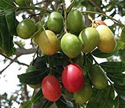 california-tropical-kaffir-plum-1.jpg
