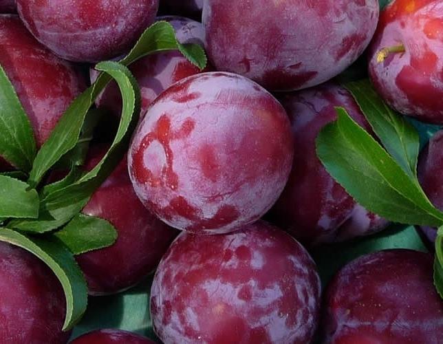 california-tropical-santa-rosa-plum-1.jpg