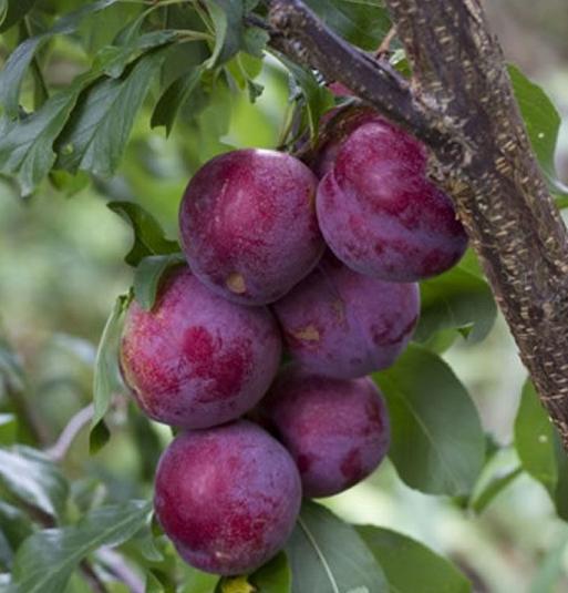 california-tropical-satsuma-plum-1.jpg