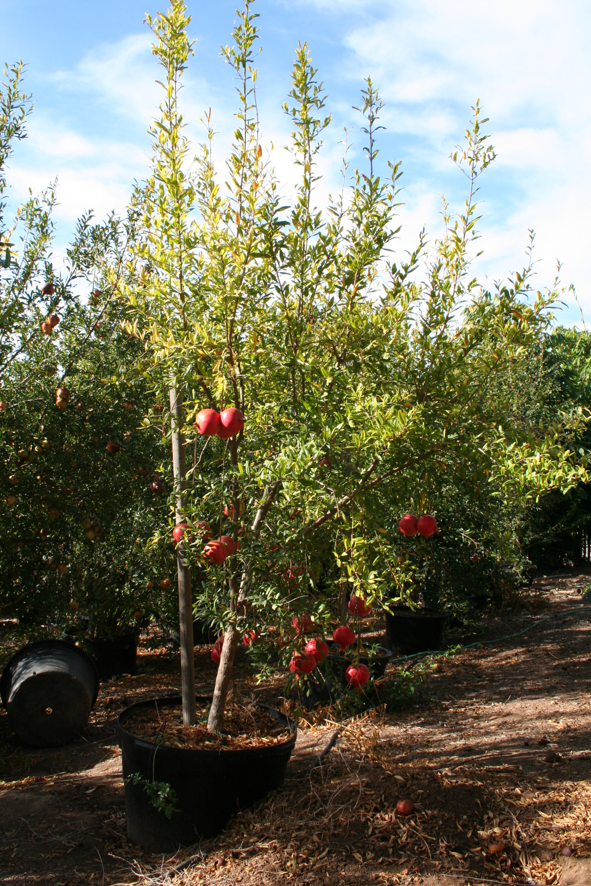 Field Sweet Pomegranate (1).JPG