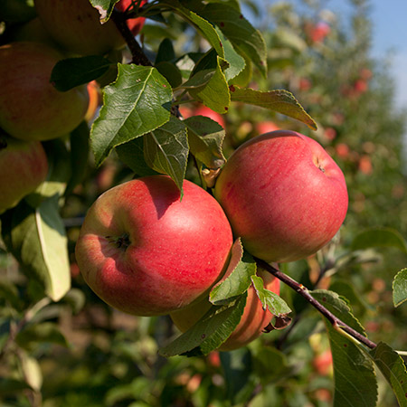 Anna-Apple-Tree-450w.jpg