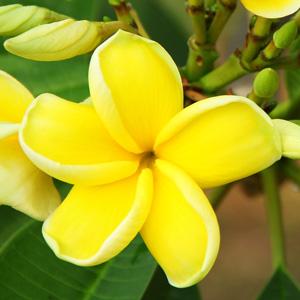 yellow plumeria.jpg
