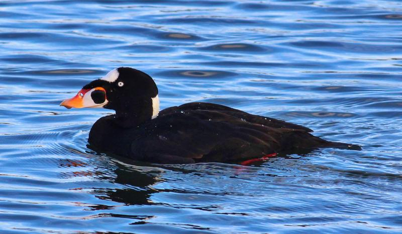 The Surf scoter duck, which can be found in Jamaica Bay. Photo courtesy of Gateway National Recreation Area.