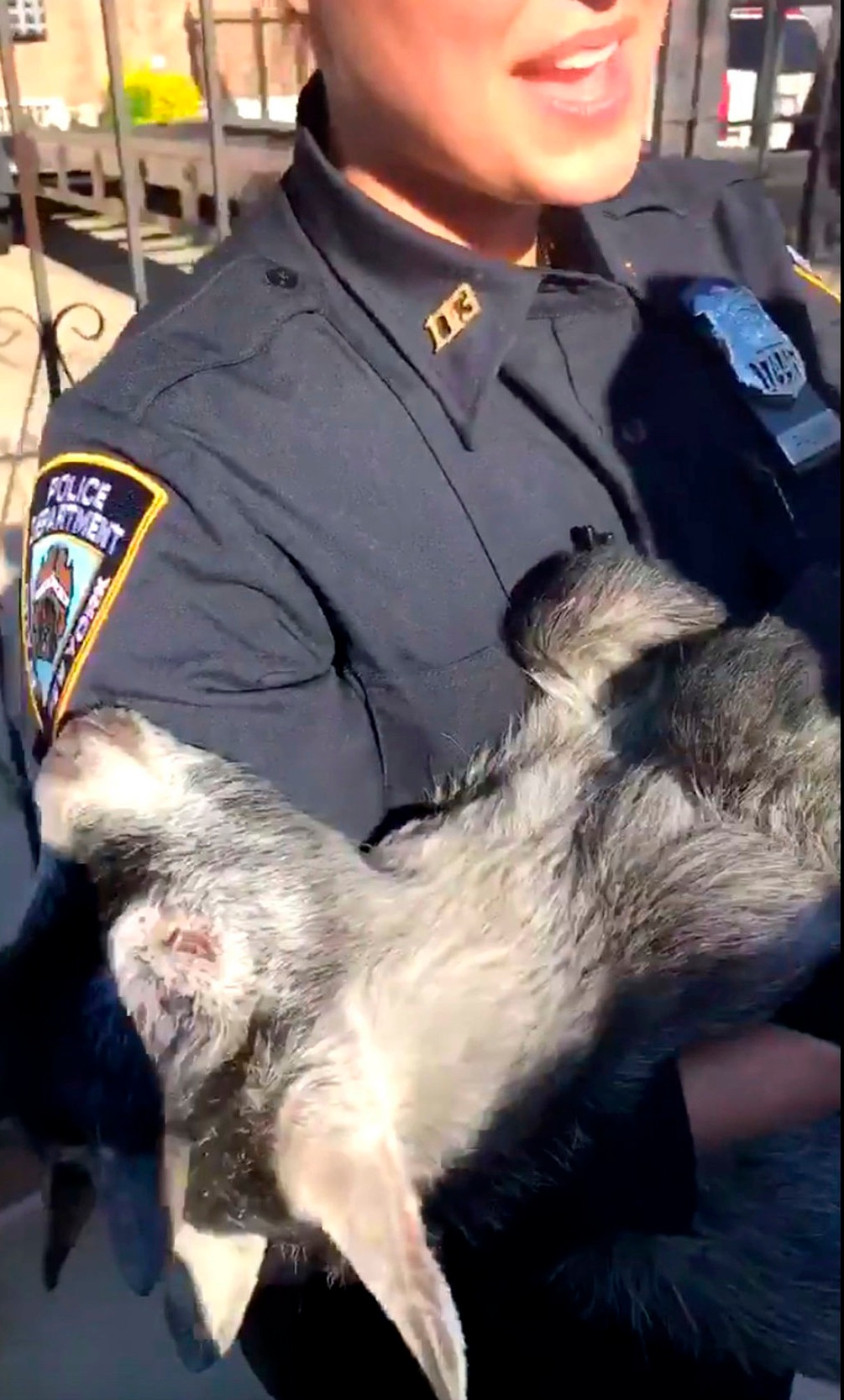 An NYPD officer from the 113th Precinct carries a goat out a backyard in Queens. Photo by New York City Police Department via AP