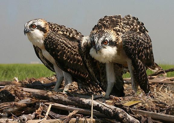 Ospreys nest near Jamaica Bay. Photo by Don Riepe via US Parks Service.