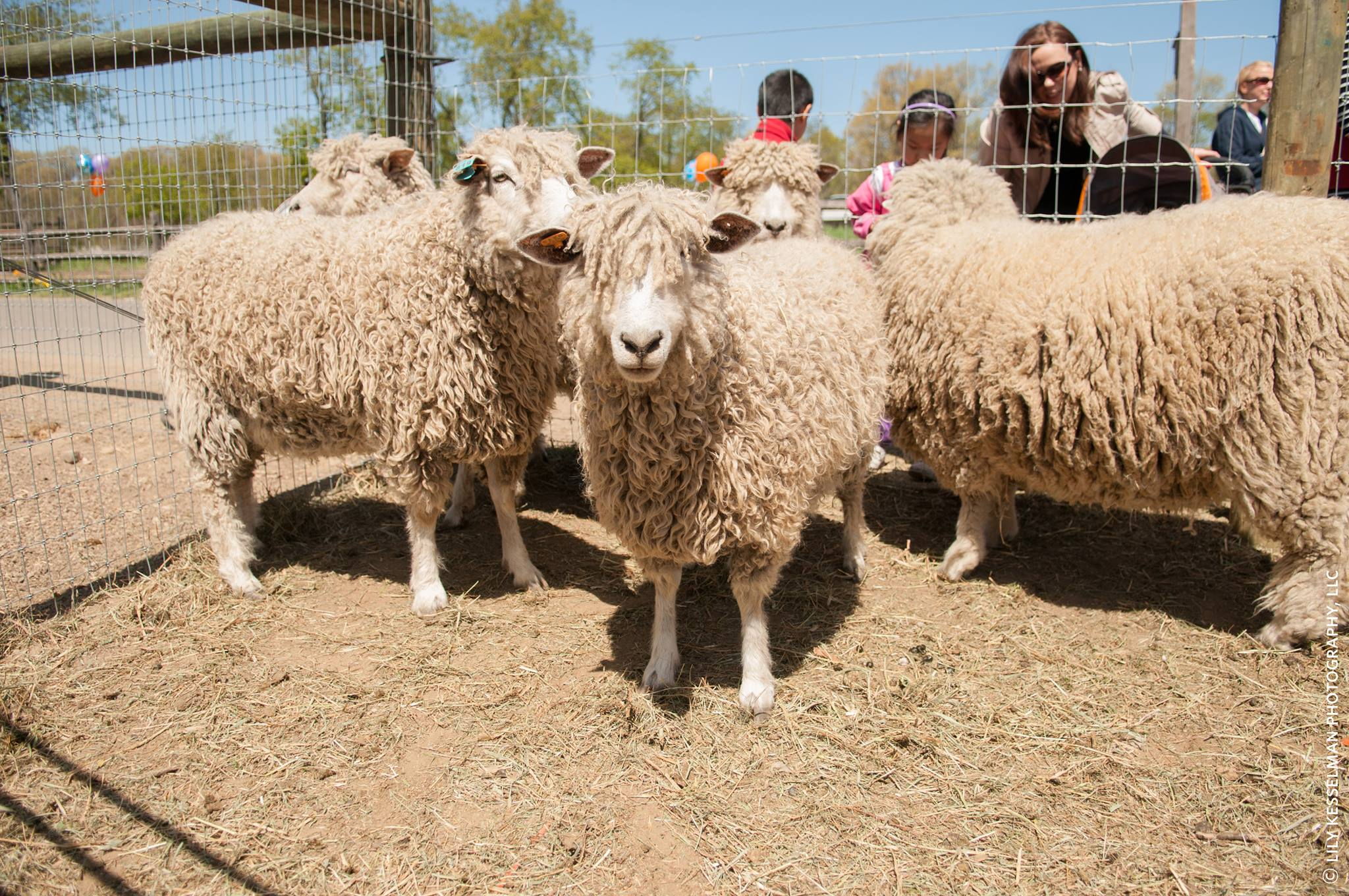 The Sheep Shearing Festival returns to Queens County Farm Museum on Saturday. Photo courtesy of QEDC.