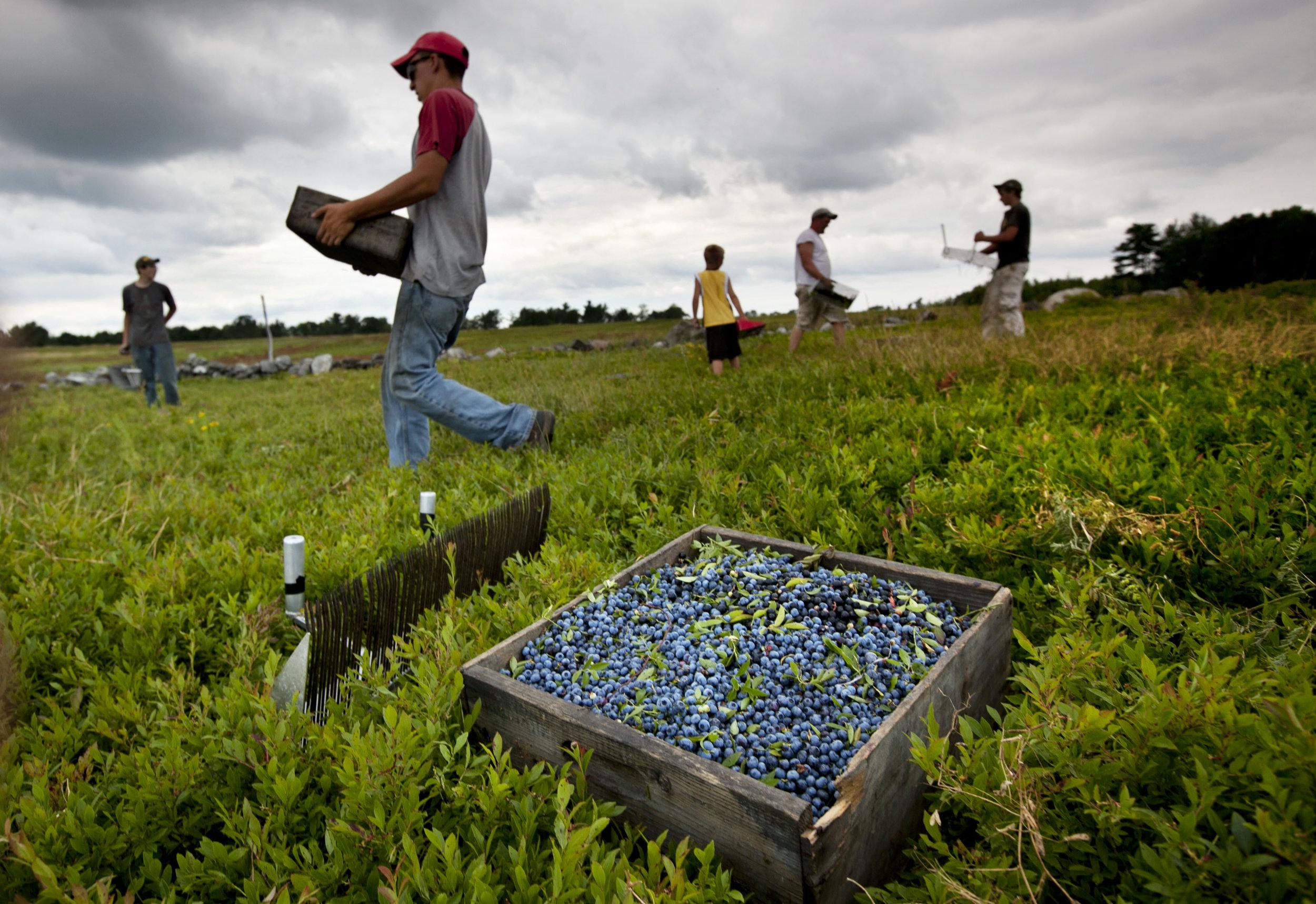 Farmworkers harvest blueberries. AP Photo/Robert F. Bukaty, File