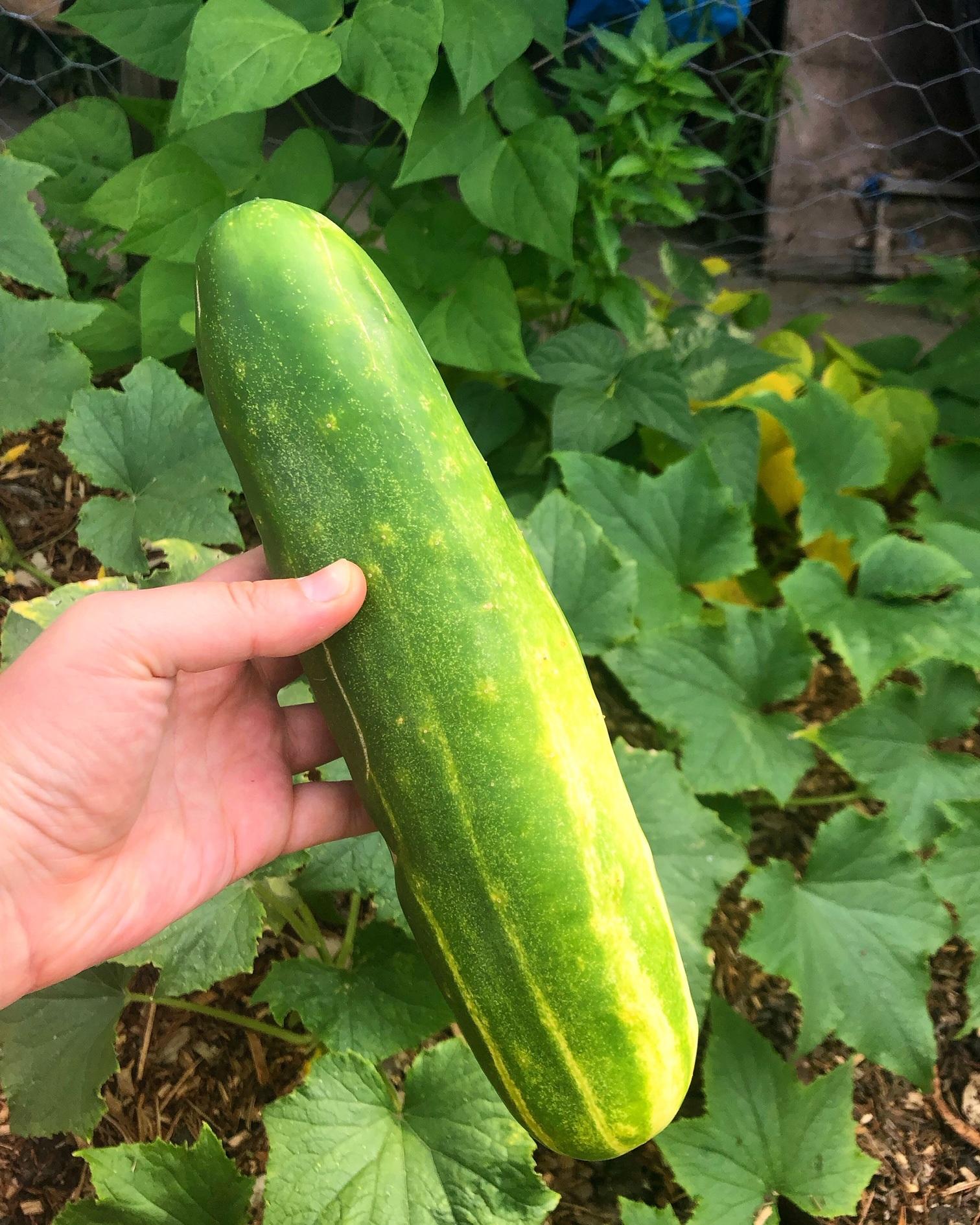 Humungous cucumbers!