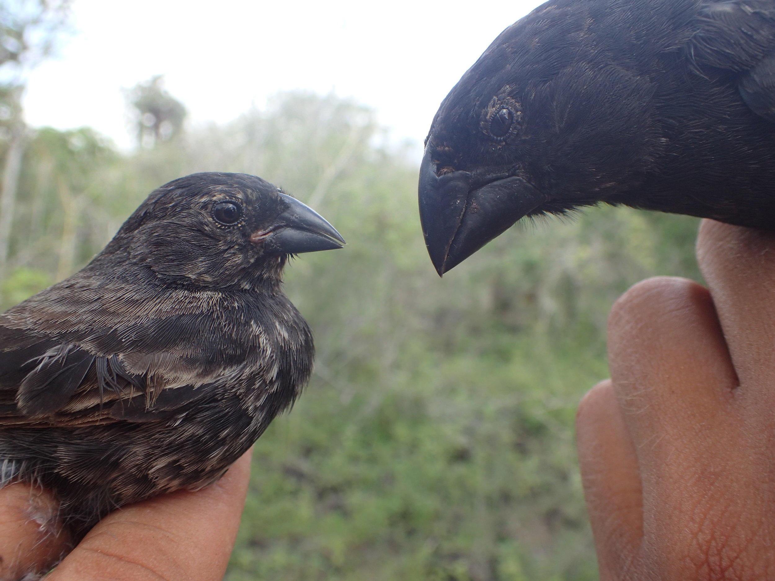 Both small ground finches (left) and medium ground finches (right) show epigenetic changes between urban and rural habitats.