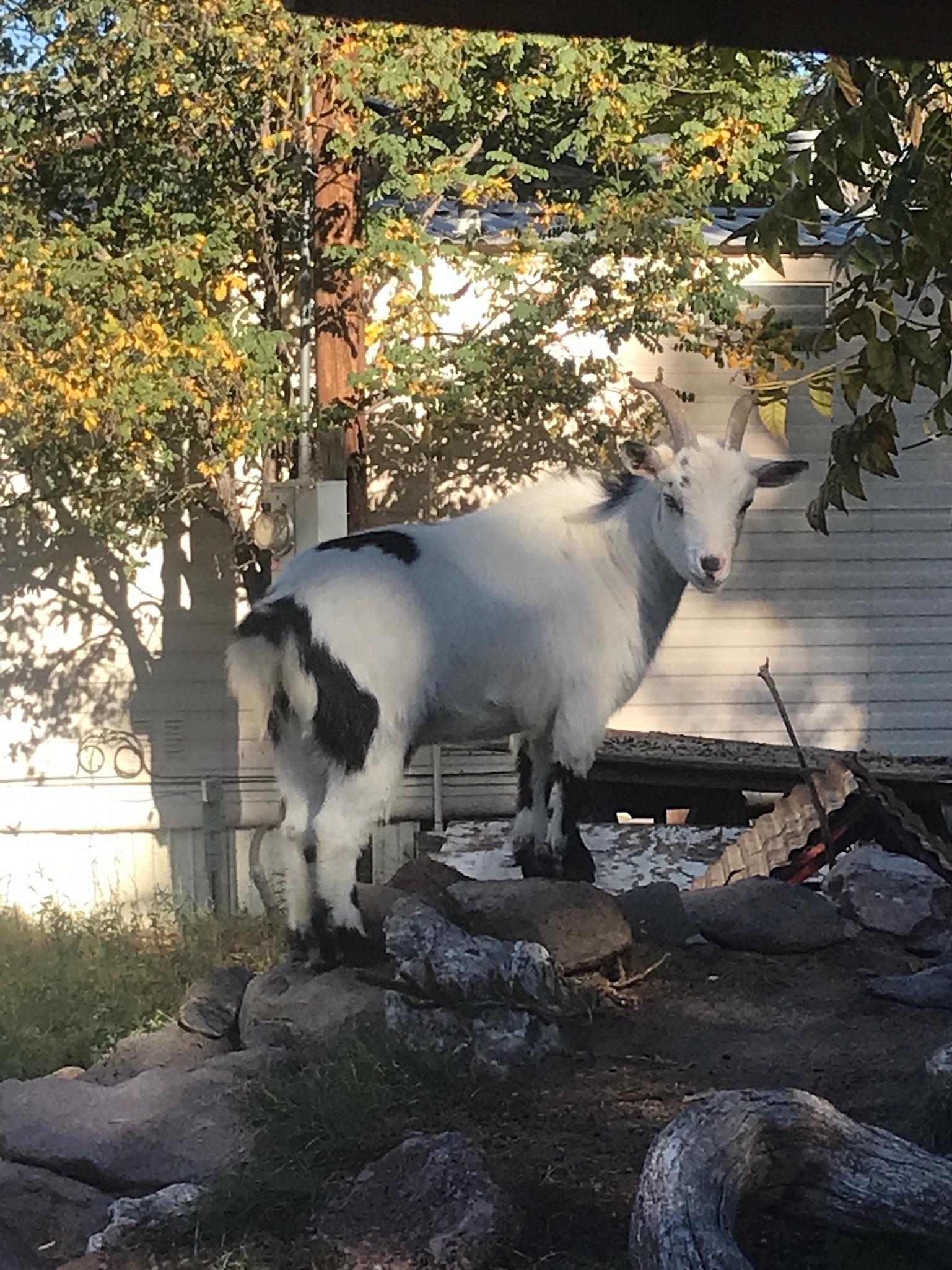 Friendly goat.