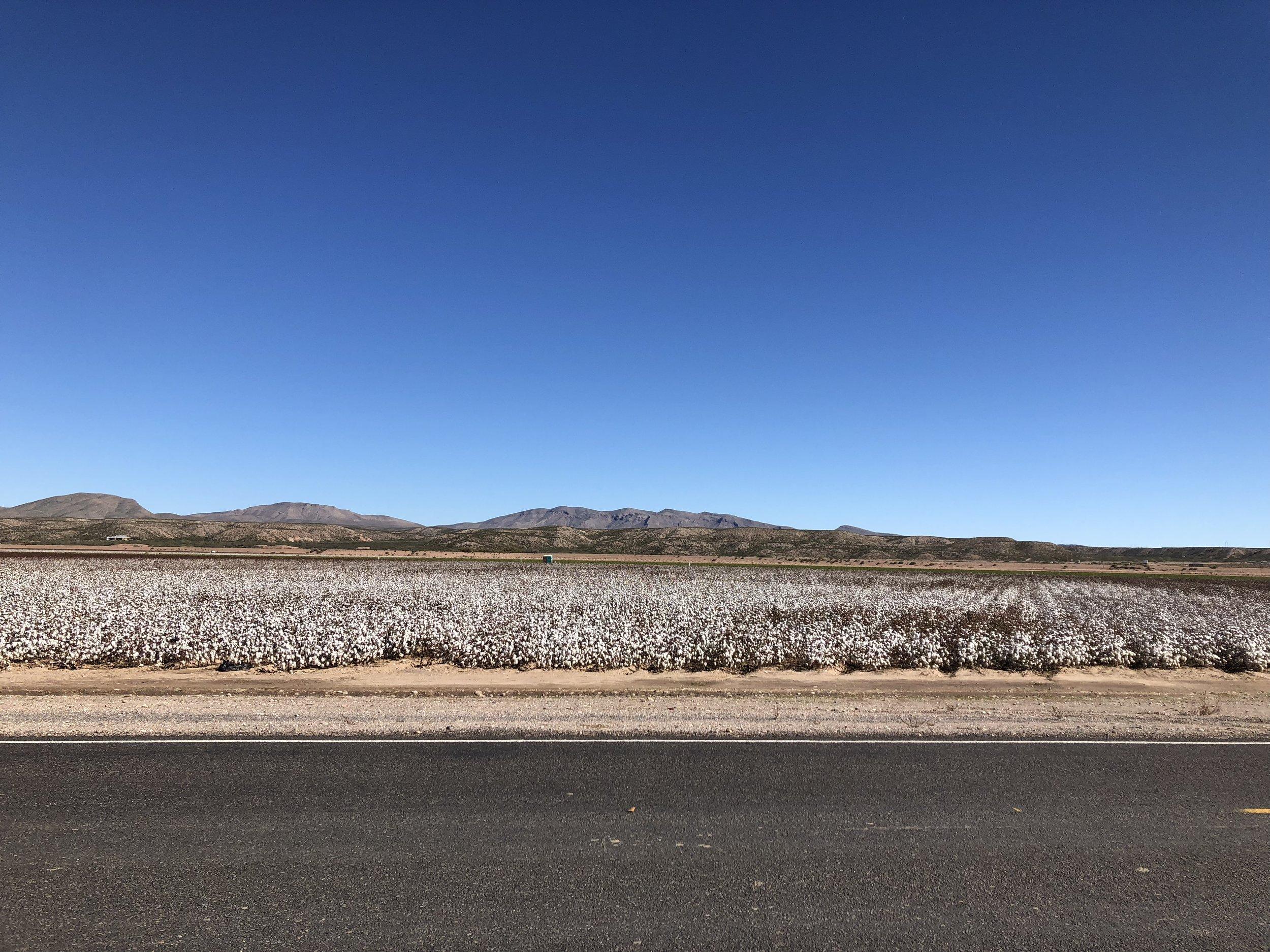 Cotton field (it kinda looks like it just snowed).