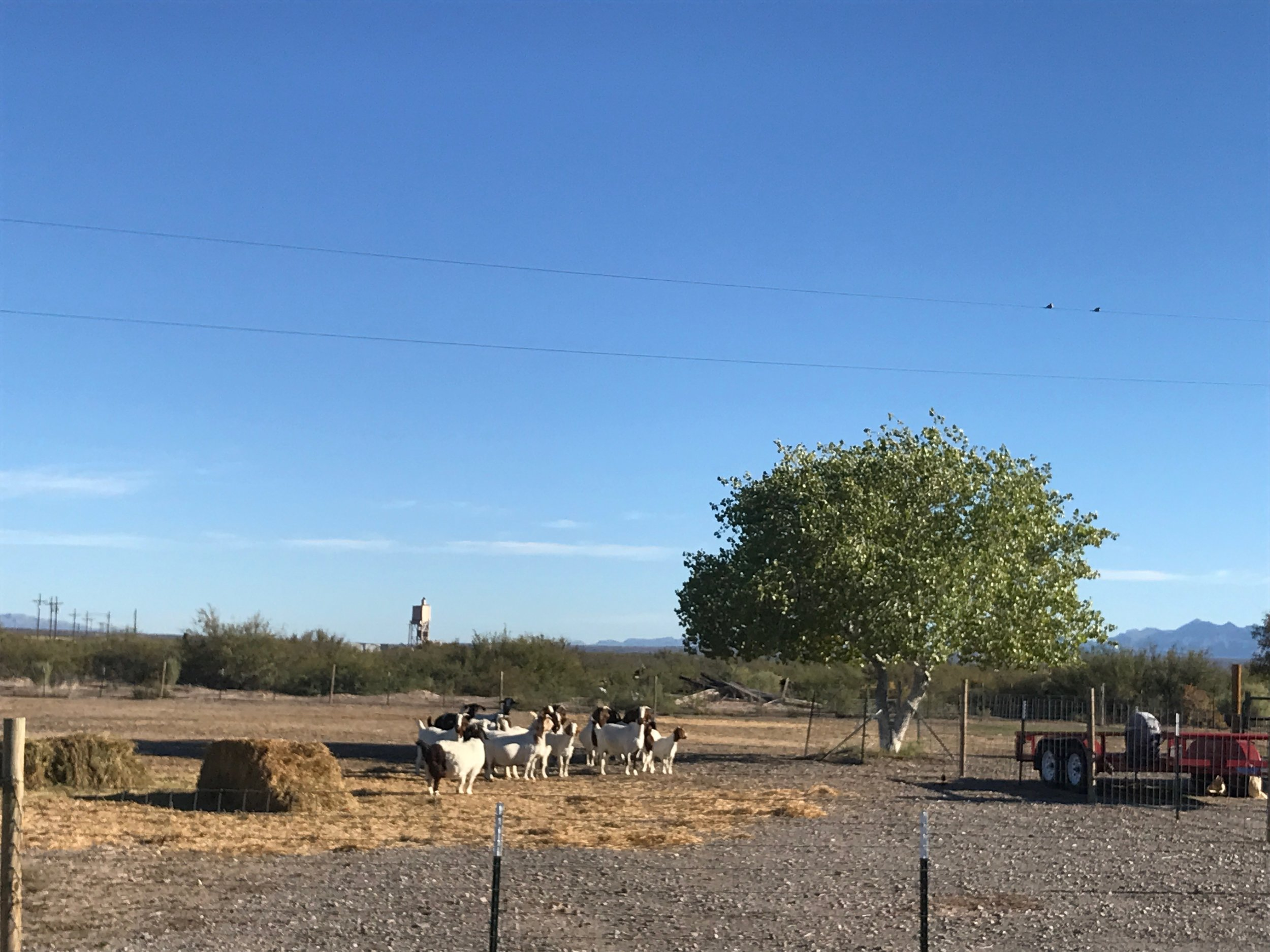 The sheriffs goats.