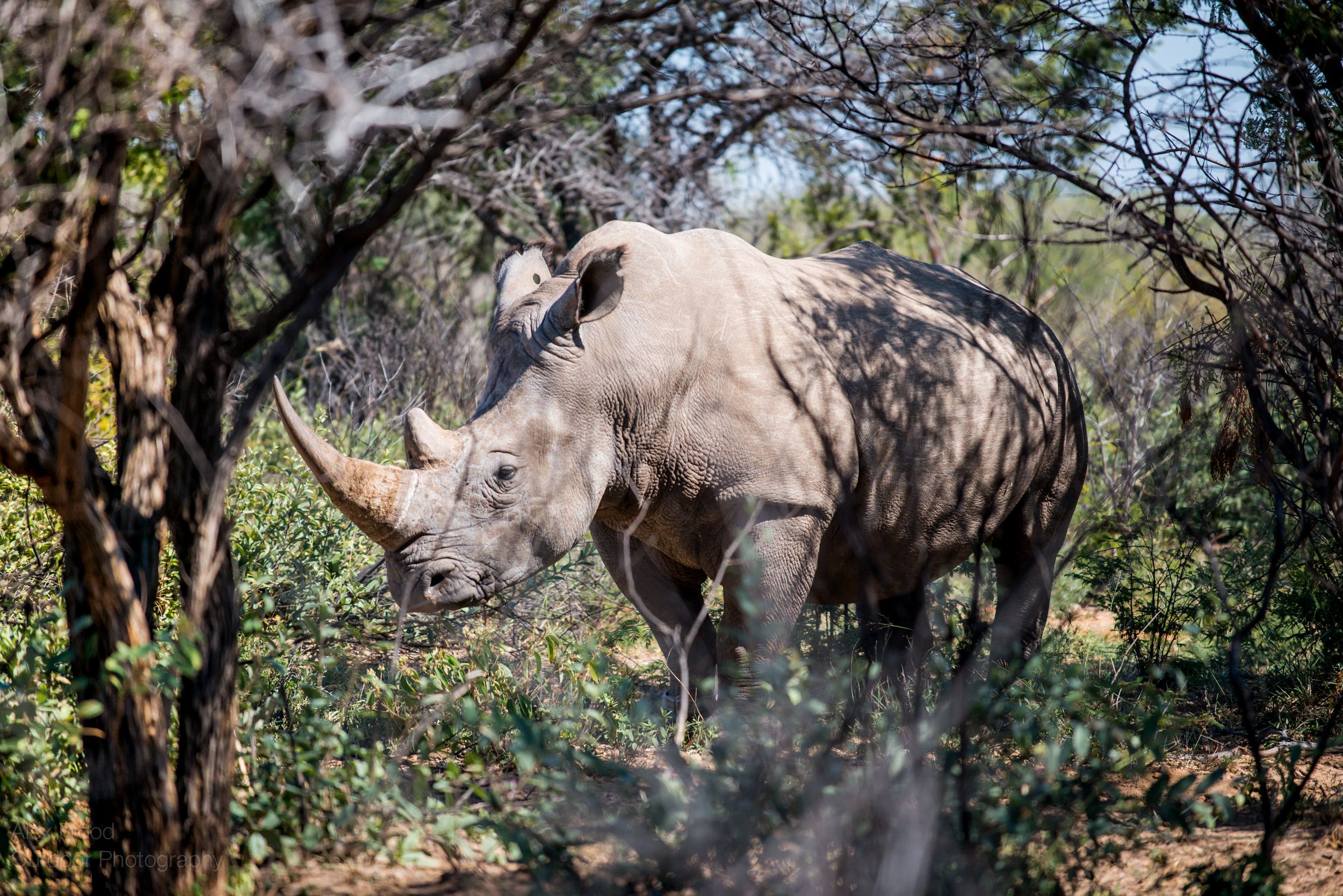 Southern White Rhinoceros, Botswana
