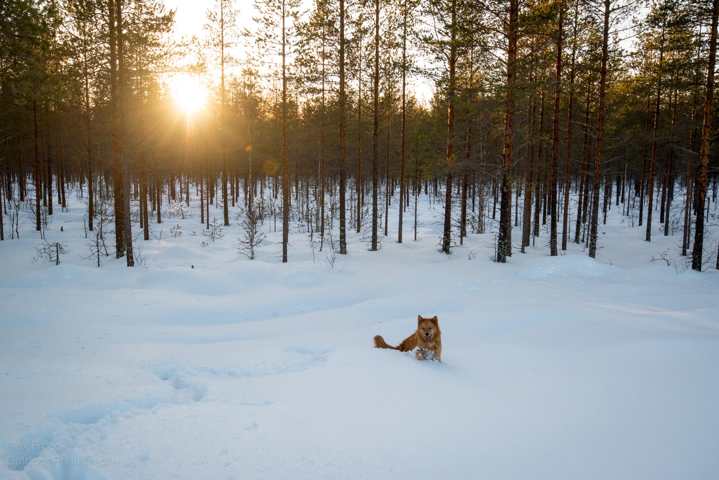 Finnish Spitz, Finland
