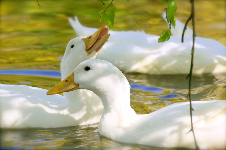 White_domesticated_ducks_young_leaves.jpg