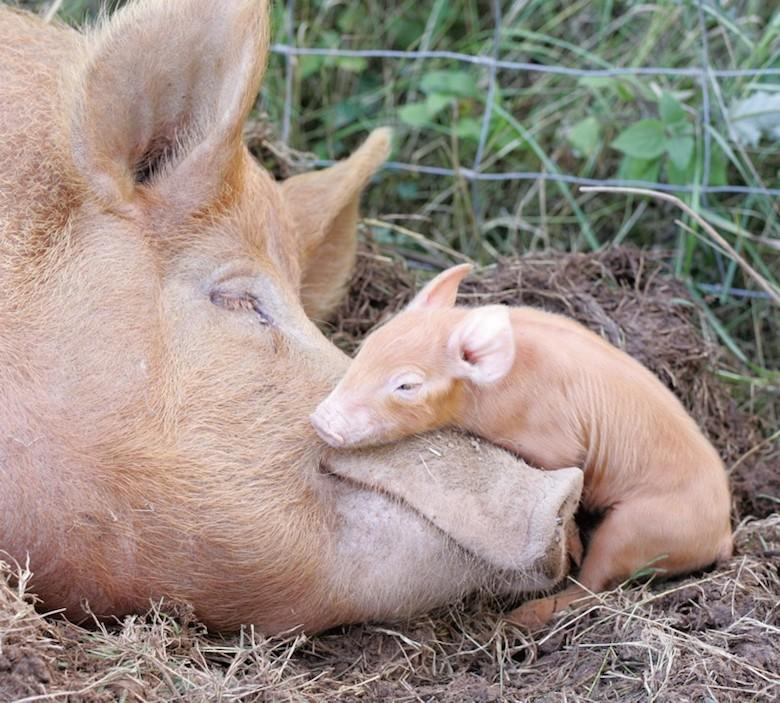 Tamworth-pig-and-piglet.jpg