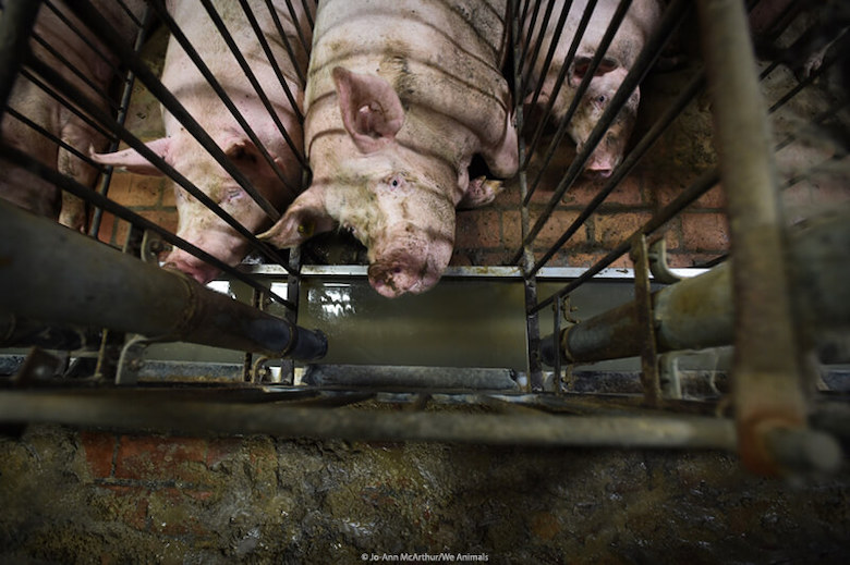 pig-factory-farm-we-animals-credited.jpg