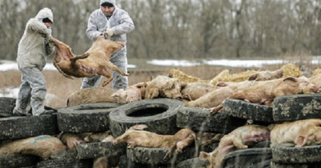 killing pigs