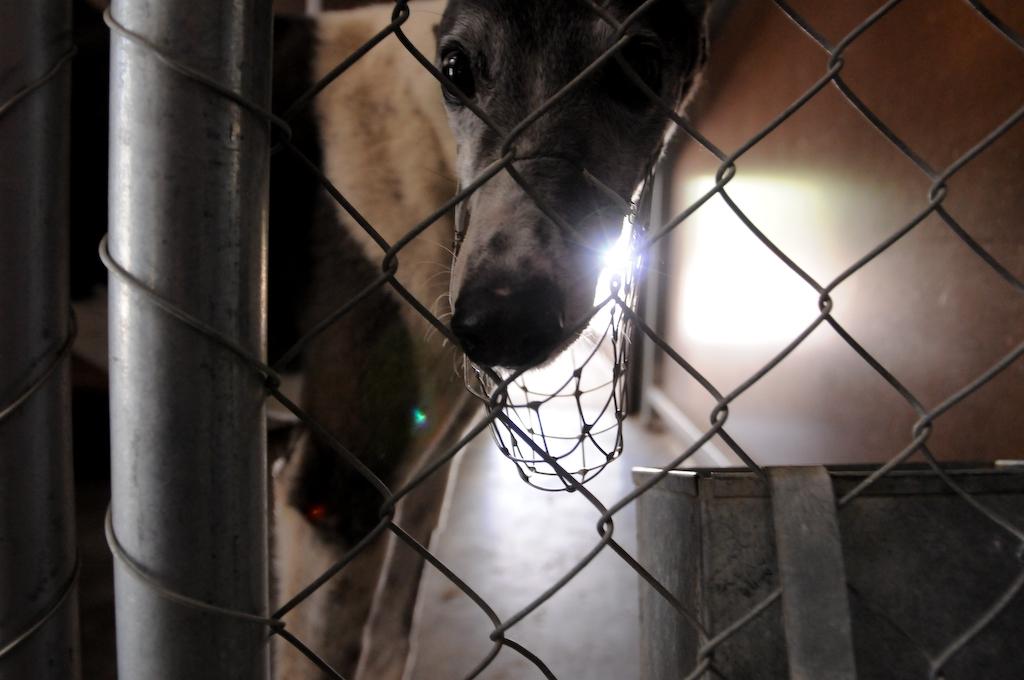 grey hound racing, jo Anne McArthur