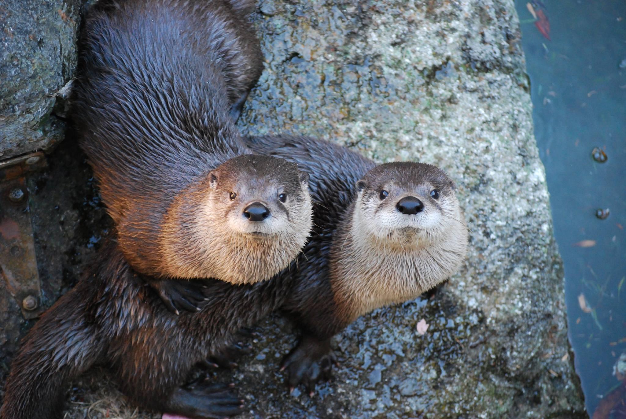 Otters - Frank Ruggiero.jpg