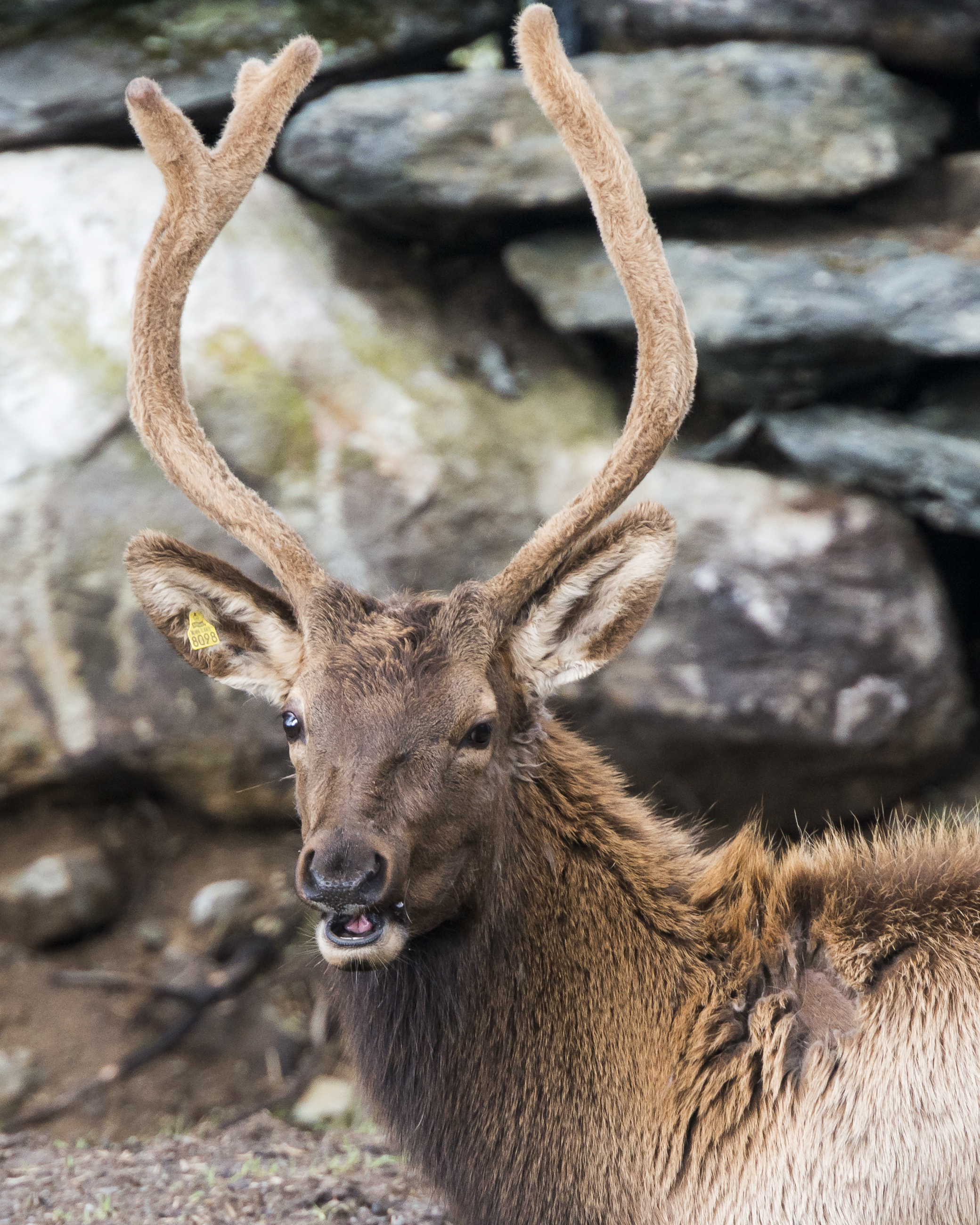Elk - per FR.jpg