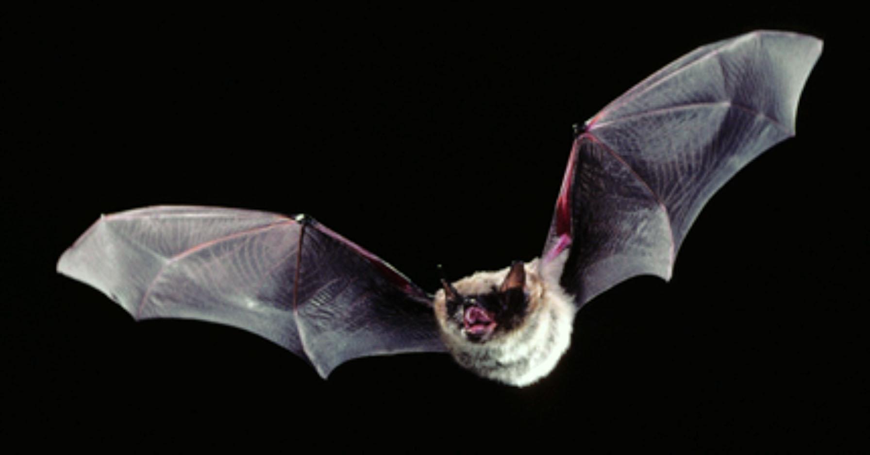 little brown bat 1.jpg
