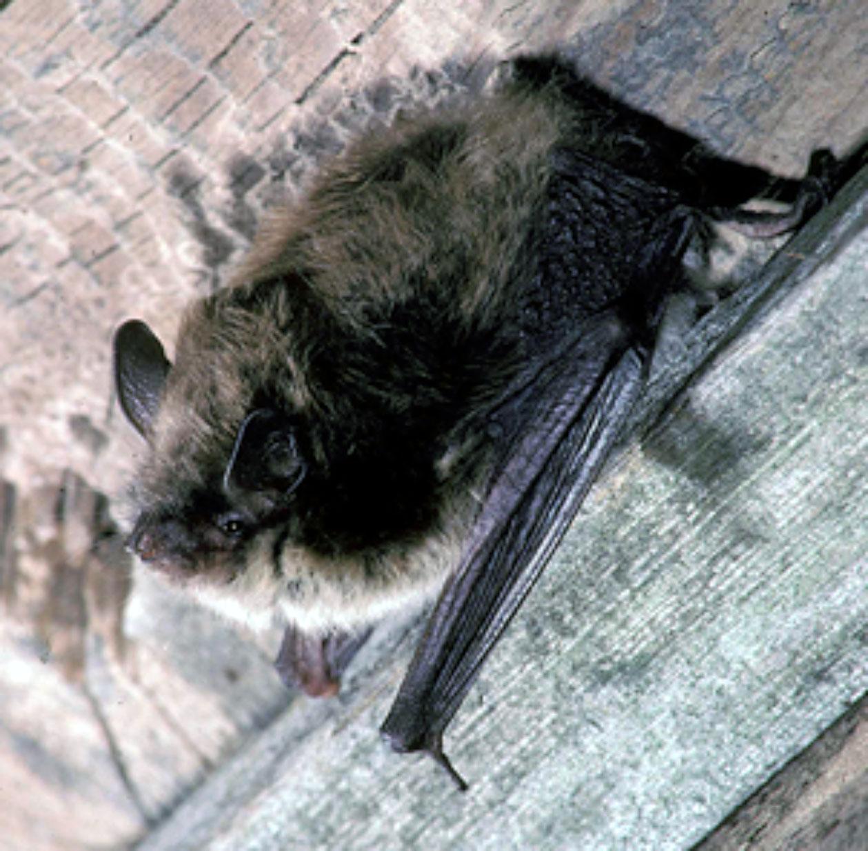 little brown bat 2.jpg