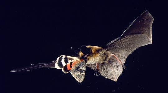 Myev(Long-earedmyotis).jpg