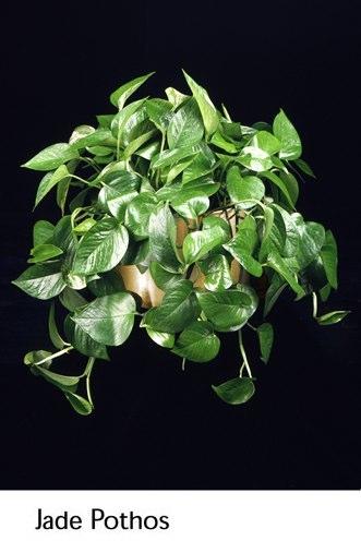 jade-pothos.png