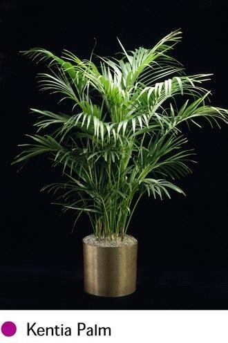 kentia-palm.png