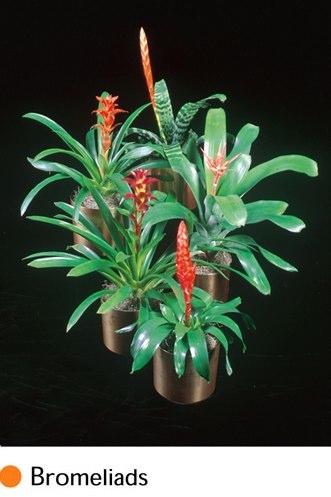 bromeliads.png