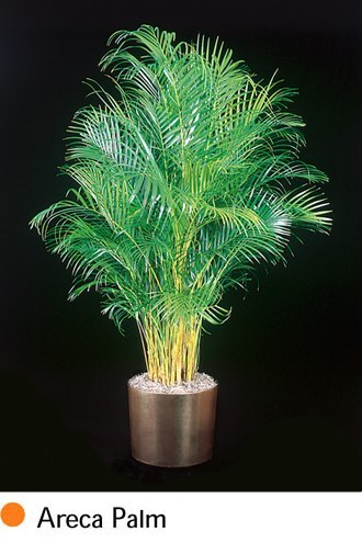 areca-palm.png