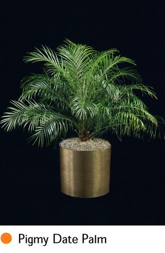 pigmy-date-palm.png