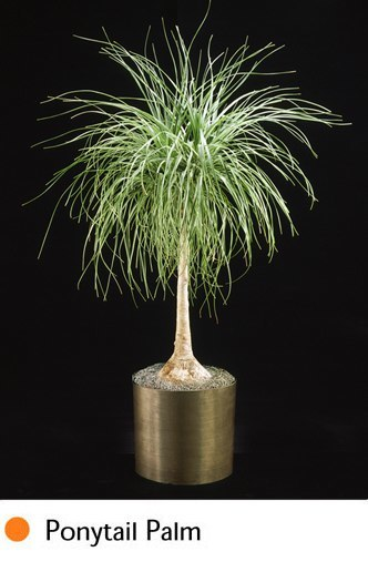ponytail-palm.png