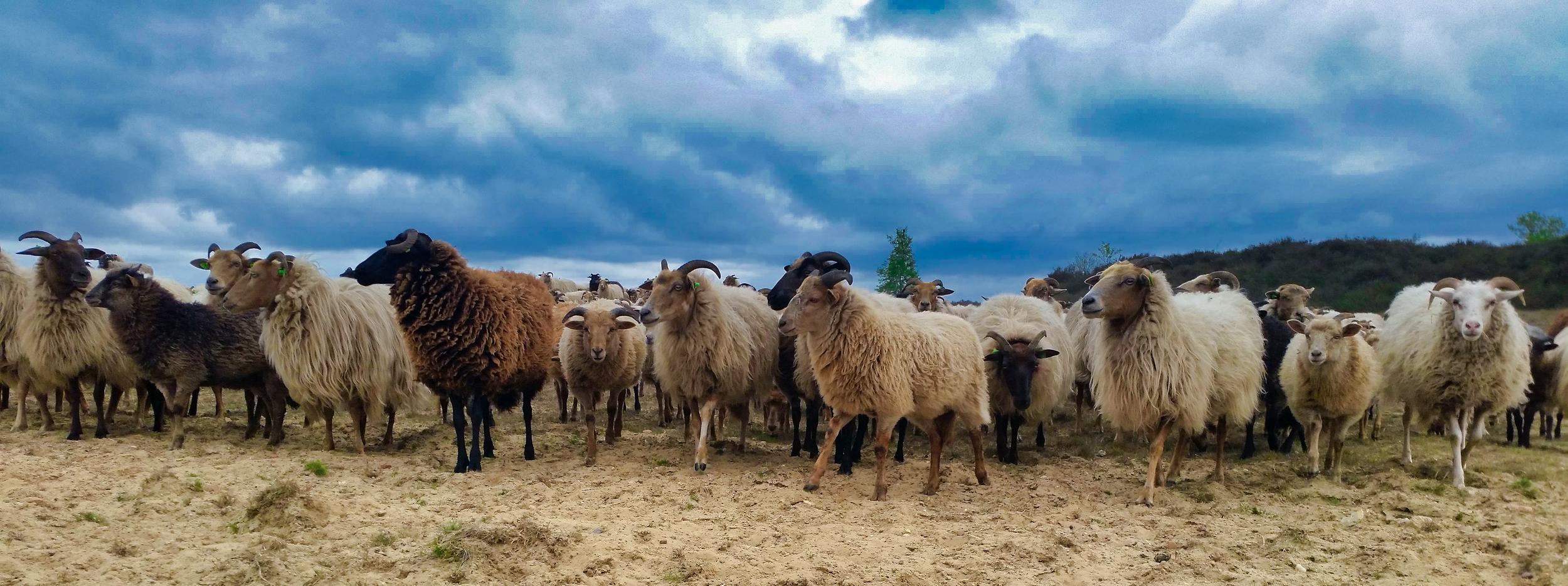 schapen.png