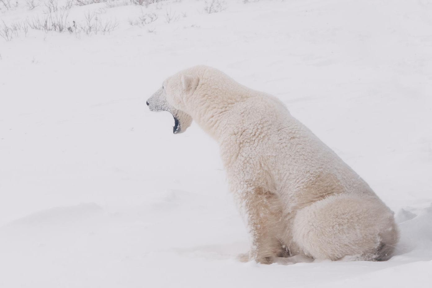 Bare Existence - Max Lowe - 19 minUma intima visão sobre os esforços para a preservação do urso polar.