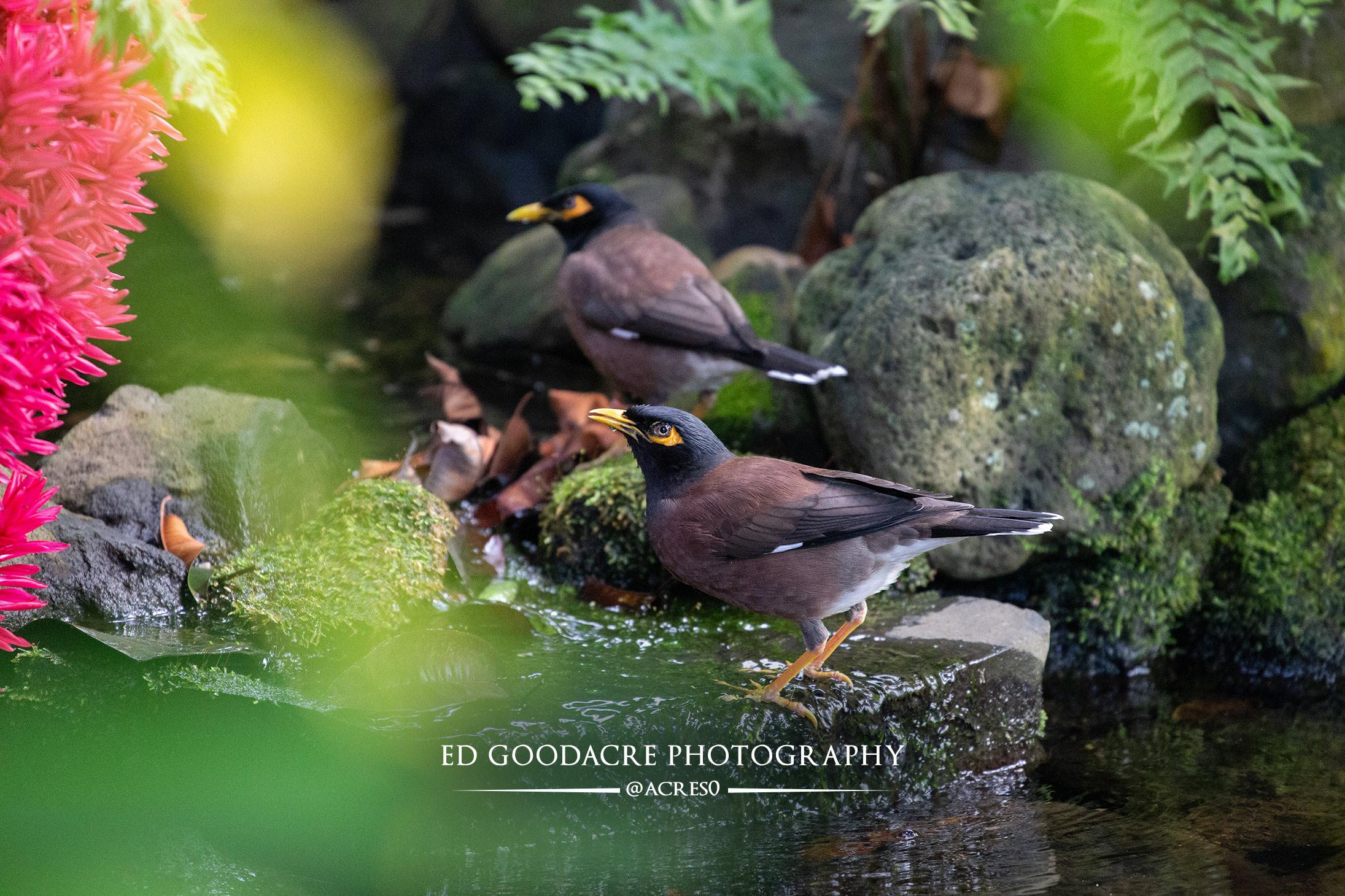 Bell bird Cook Islands