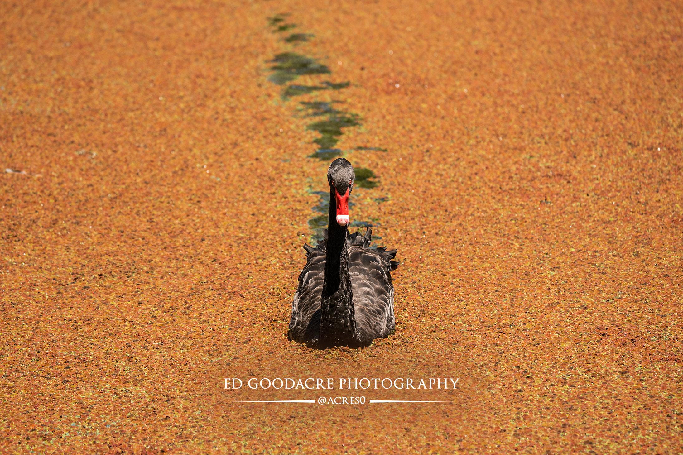 Wildlife-swan.jpg