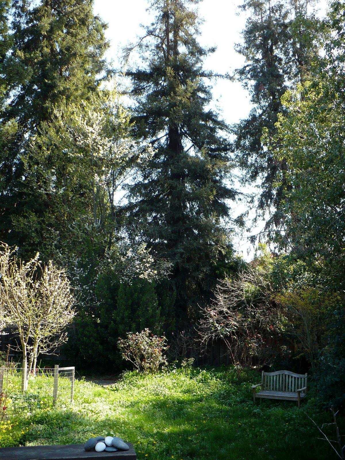 backyard with redwoods copy.jpg