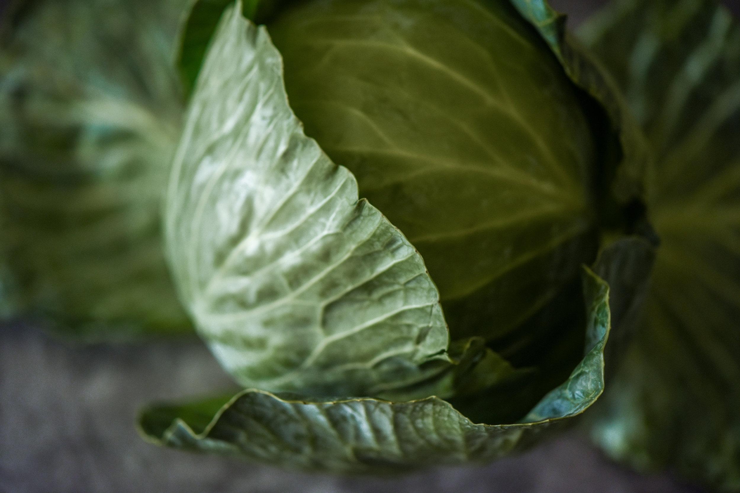 cabbage-green-9831.jpg