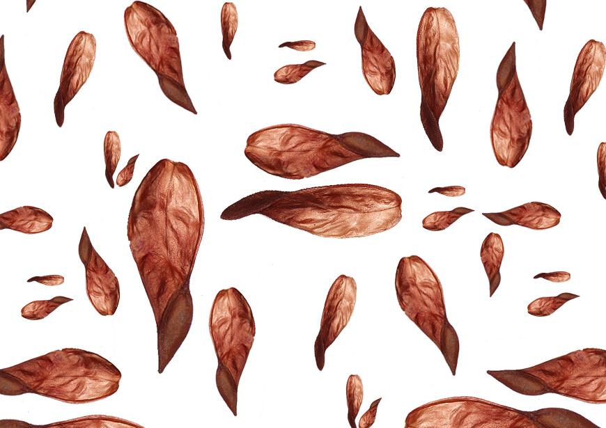 Shorea robusta.jpg