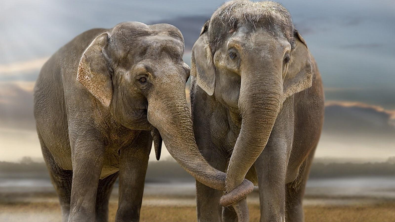 ASIAN ELEPHANTS - CONTACT.jpg