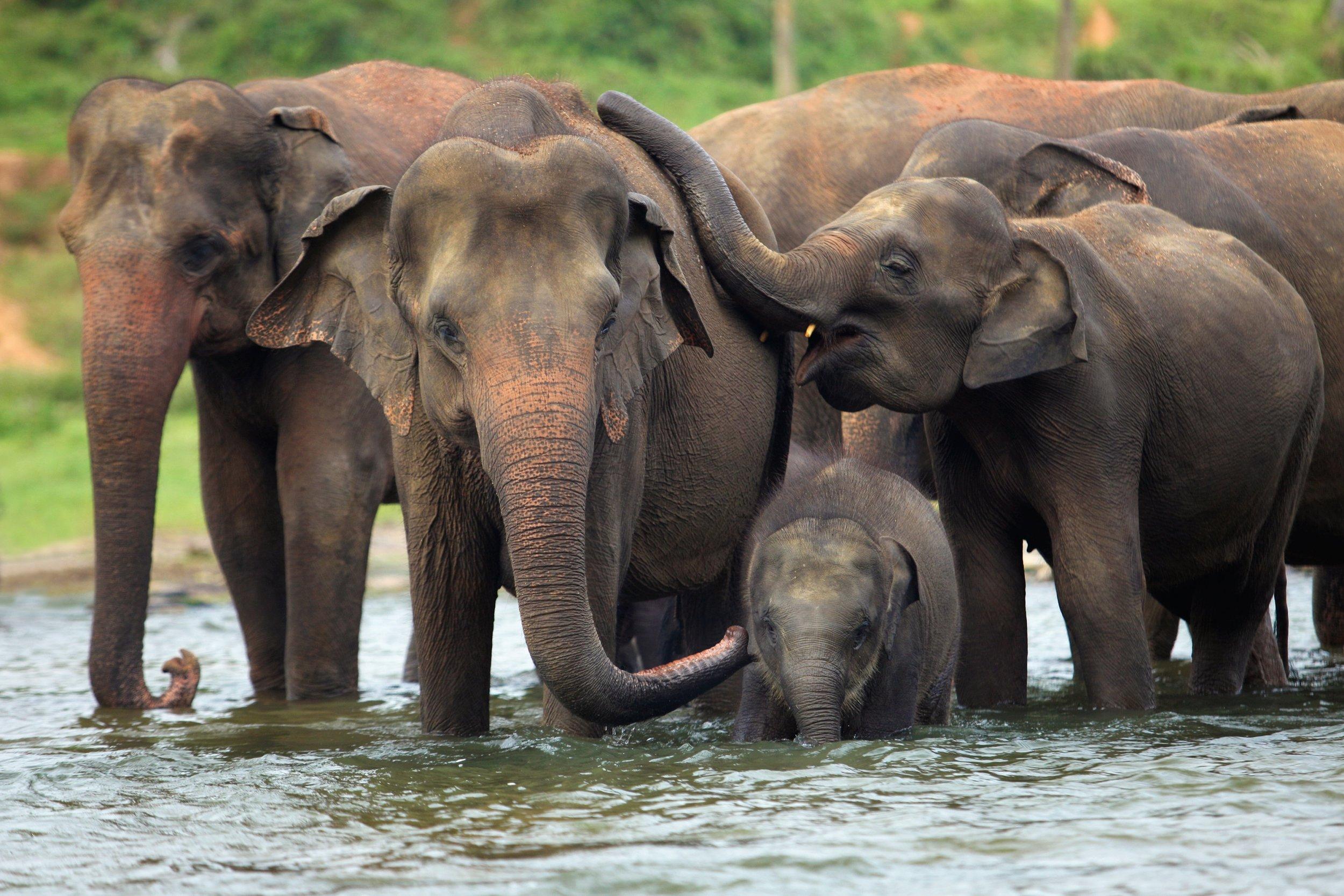 ASIAN ELEPHANT FAMILY.jpg