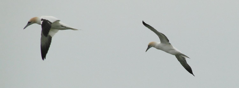 Northern Gannets.